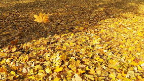 Video of the falling autumn leaf. stock video