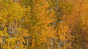 Video of falling leaves in autumn stock video