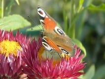 Video farfalla su un fiore video d archivio