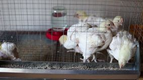 Video a few chickens eating combined feed in the cage stock footage