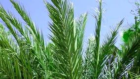 Video foglie pennute appuntite lunghe della palma che scuotono ondeggiamento nel vento su Sunny Day Cielo blu video d archivio
