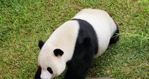 Cute panda walking at the zoo. Video footage of a cute giant panda walking at the zoo. Giant panda is a bear native to south central China. Shot in 4k resolution