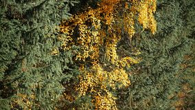 Yellow leaves among spruce. This video footage shows the autumn landscape. Against the backdrop of colorful autumn trees. The clip can be the perfect stock video footage