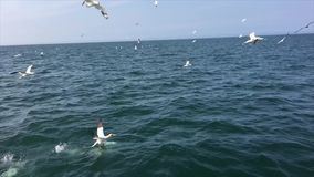 A video of Gannets diving in slow motion. In the north sea off Bempton Cliffs stock video