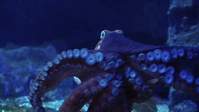 Video Giant octopus spreads tentacles suction attach on glass at the aquarium stock footage