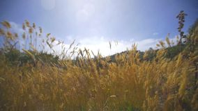 Golden grass blowing in strong wind. Video of golden grass blowing in strong wind stock video footage