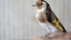 Video of Goldfinch bird in a birdcage Stock Photo
