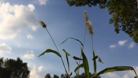 Whistling grass. A video of grass stalks shaking in the wind stock footage