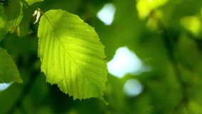 Green leaf in the breeze illuminated by sumer sunlight. Video of green leaf in the breeze illuminated by sumer sunlight stock video
