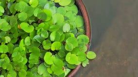 Video Green tropical aquatic plant in clay pot under water. Green tropical aquatic plant in clay pot under water stock video footage