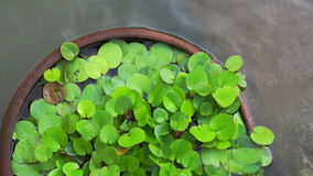 Video Green tropical aquatic plant in clay pot under water stock video footage