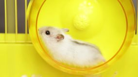 Video of hamster running in the wheel. Video of Jungar hamster running in the wheel