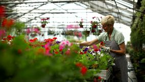 Happy senior florist woman working in the large flower garden stock video footage