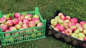Video harvest of pears and apples stock video