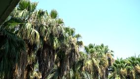 Video of high tropical palm trees and the wind stock footage