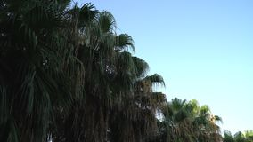 Video of High tropical palm trees and the wind. On the coast stock video footage