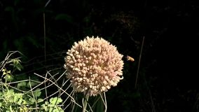 Honey bee busy insect flower bee. Video of honey bee busy insect flower bee stock video footage