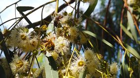 Honey Bees on Eucalyptus Blossoms 03 Slow Motion