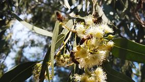 Honey Bees on Eucalyptus Blossoms 02 Slow Motion