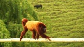 Howler monkey fauna. Video of howler monkey fauna stock video