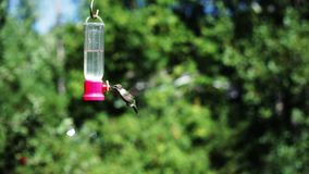 Hummingbird at feeder. Video of hummingbird at feeder stock video footage