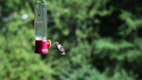 Hummingbird at feeder. Video of hummingbird at feeder stock footage