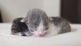 Video i gattini neonati svegli di stile di vita due divertenti dormono lavoro di squadra sul letto concetto degli animali domesti stock footage