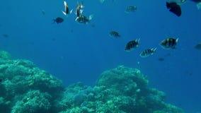 Video 4k der Schwimmens über bunten Korallen und Schulen von Fischen im Roten Meer in Ägypten stock footage