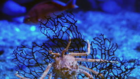 Video King Crab at aquarium under ocean dark blue bottom Stock video. King Crab at aquarium under ocean dark blue bottom Stock video stock video footage