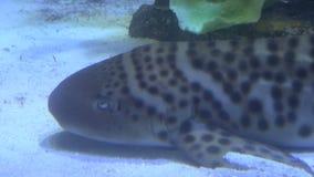 Large catfish on sea floor stock video