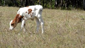 Little calf eating. Video of Little calf eating stock footage