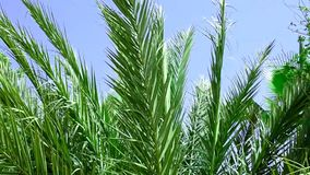 Video Long Spiky Feathery Palm Tree Leaves Shaking Swaying in the Wind on Sunny Day. Blue Sky. stock video footage