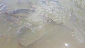 Carp feeding in shallow water
