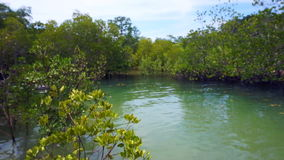 Video of Mangrove trees next to the ocean during low tide and high tide. Mangrove trees next to the ocean during low tide and high tide stock footage
