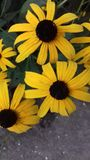 Video material Different sun flowers royalty free stock photography