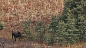 Moose walking through forest stock video footage