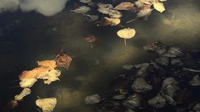 Video of moving  golden leaf on water stock footage