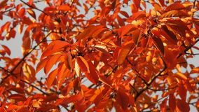 Video of orange autumn cherry tree leaves stock footage