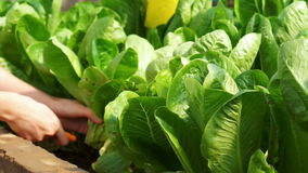 Video Organic pesticide free salad vegetable picked and cut from the garden farm stock video