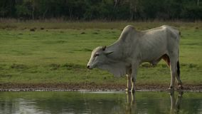 Ox drinking water. Video of ox drinking water stock footage