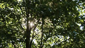 Video 1080p - Crowns of trees with bright afternoon sun and rays.  stock footage