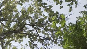 Video 1080p - Crowns of trees with bright afternoon sun and rays.  stock video