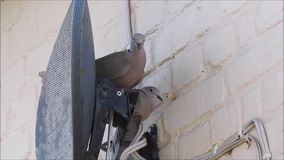 Collared doves setting up home with nest behind satellite dish. Video of pair of british collared doves trying to make a nest behind a satellite tv dish june stock video footage