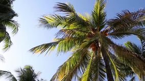 Palm tree in the breeze. Video of palm tree in the breeze stock video footage
