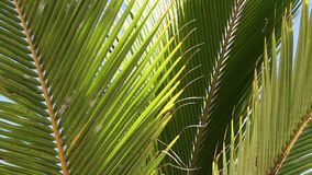 Palm tree leaves close up in the breeze. Video of palm tree leaves close up in the breeze stock video footage