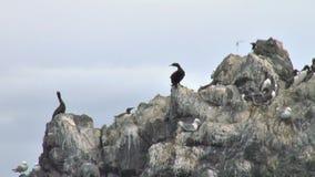 Pelagic cormorant defending against seagull attack. Video of pelagic cormorant defending against seagull attack stock video
