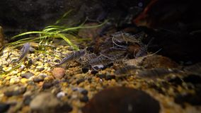 Pictus catfish pimelodus pictus underwater