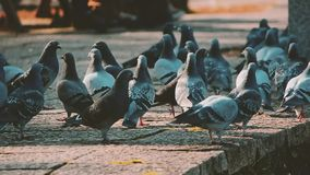 Pigeons in a park. Video of Pigeons in a park stock footage