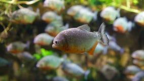 Piranha colossoma macropomum stock video