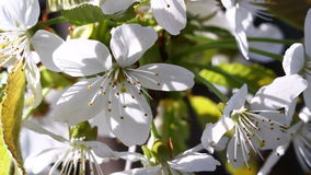 Video of plum tree flower stock footage